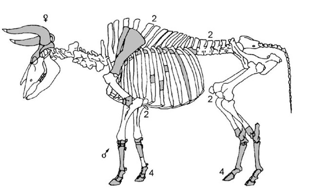 Composite diagram of the butchery patterns of aurochs found at the Late Mesolithic site of Jardinga, Netherlands; unless otherwise annotated, remains from one animal are indicated.