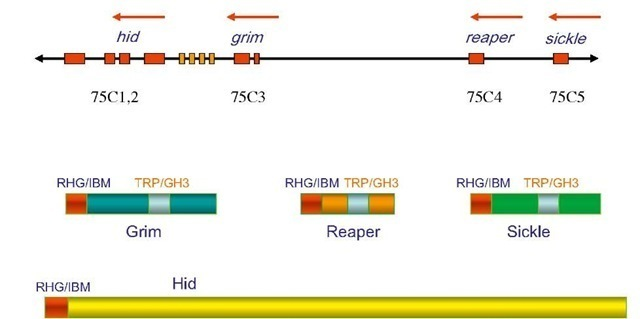 IAP inhibition is a conserved mechanism of regulation of apoptosis. In Drosophila, expression of the grim-reaper, jafrac2, or dOmi/Hrt2A genes is activated in doomed cells, and the corresponding proteins bind to DIAP1 and block its ability to inhibit caspases. This results in active caspases that degrade cellular proteins to mediate apoptosis. In mammals, pro-apoptotic stimuli induce the release of Smac/Diabl, Omi/Hrt2A, as well as other pro-apoptotic factors, including cytochrome c, from the mitochondria. Cytoplasmic Smac/Diablo or Omi/Hrt2A binds XIAP and represses its caspase-inhibitory actions, thereby promoting apoptosis. In both flies and mammals, the orthologous Dark and Apaf-1 proteins as well as pro-apoptotic members of the Ced-9/Bcl-2 family promote activation of inhibitor caspases.