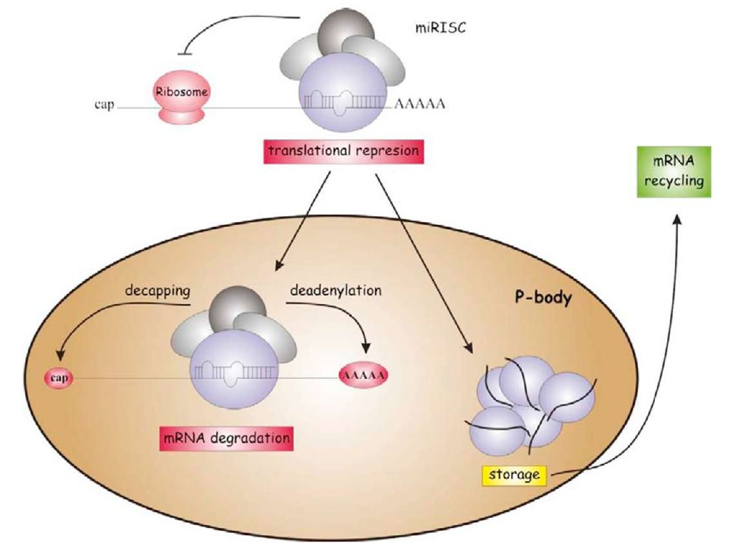Once the miRISC is formed, the target mRNA can be taken to a special region of cytoplasm known as the P-body, where it will be degraded after decapping and deadenylation, or maintained in the P-body until released from it and recruited to polysomes.