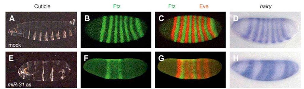 Effects of depletion of miR-31 in Drosophila melanogaster embryos. (A) and (E) show Darkfield images of cuticle preparations; (B), (C), (F), and (G) are confocal images of Eve (red) and Ftz (green) stainings; and (D) and (H) hairy RNA in situ hybridization of blastoderm (2.5-h) embryos. (A)-(D) correspond to controls, and (E)-(H) to miR-31 antisense-injected embryos. The latter show cuticle defects ranging from partial fusion to complete loss of segments (E). In controls (B) and (C), Eve and Ftz are expressed in seven largely non-overlapping stripes, while miR-31 antisense-injected embryos (F) and (G) show fewer and weaker stripes that often bleed into each other. The hairy transcript pattern also shows fewer stripes (H), indicating that pattern formation is affected upstream of the primary pair rule genes.