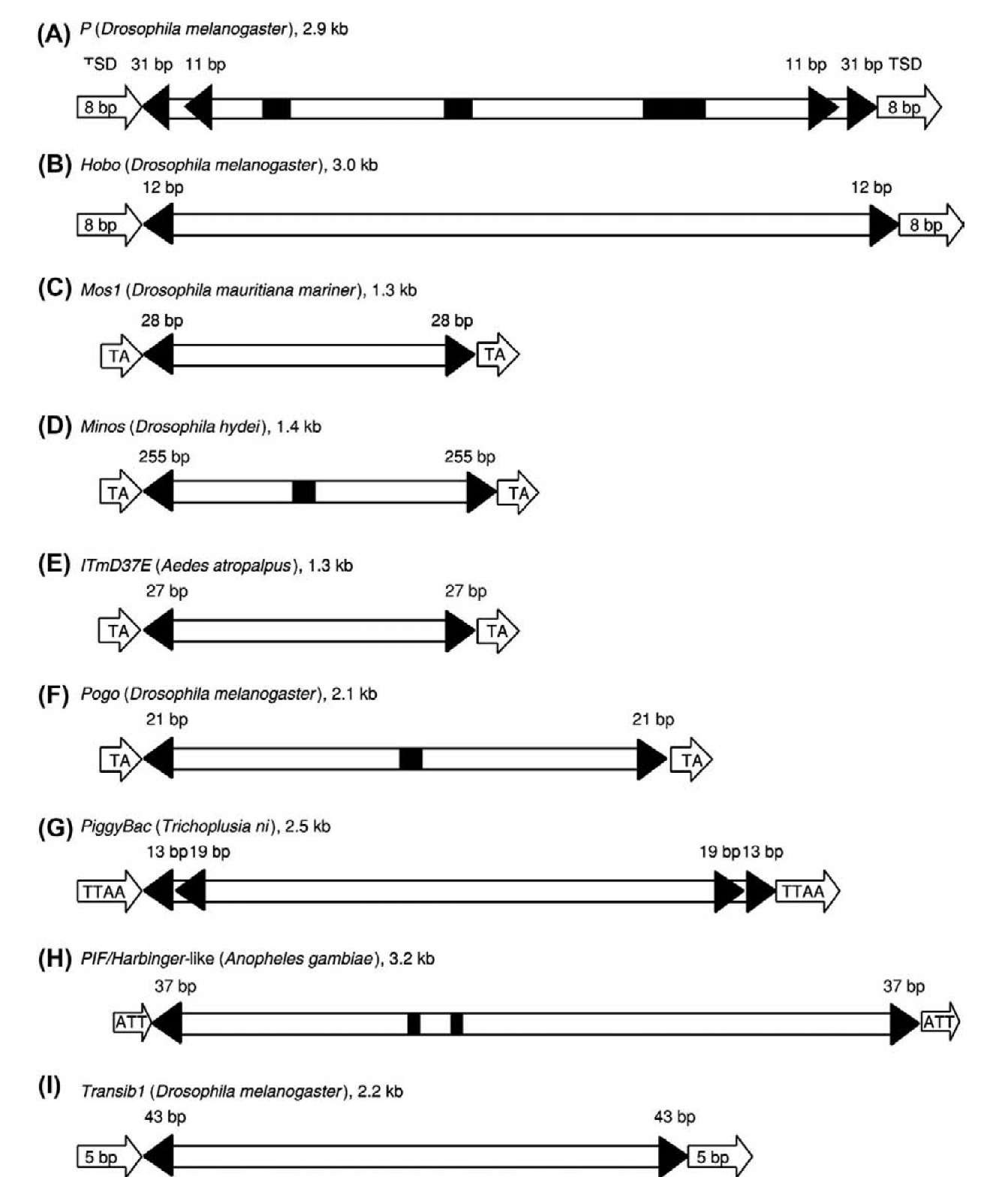 Structural characteristics of representative cut-and-paste DNA transposons in insects. The name of each representative transposon, its host species, and its approximate length are shown as the heading of each panel. Open arrows indicate target site duplications (TSDs); filled triangles indicate terminal and subterminal inverted repeats. The lengths of these inverted repeats are marked. Exons are shown as open boxes, and introns are shown as filled black boxes. 5' and 3' untranslated regions are not shown. The elements are not drawn to scale.