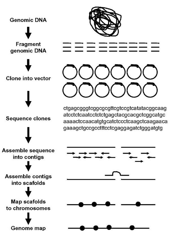 The whole-genome shotgun sequencing (WGS) method begins with isolation of genomic DNA from nuclei isolated from isogenic lines of insects. The DNA is then sheared and size-selected. The size-selected DNA is then ligated to restriction enzyme adaptors and cloned into plasmid vectors. The plasmid DNA is purified and sequenced. The sequences are assembled using bioinformatics tools.