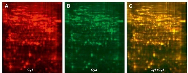 Two-dimensional differential in-gel electrophoresis (2D-DIGE) images of insecticide-susceptible (Cy5-labeled, Panel A) and resistant (Cy3-labeled, Panel B) SF-21 cells treated with insecticide. Panel C is an overlay of the two images. Equal amounts of protein in both cell lines appear yellow (C) and the proteins present in only resistant cells appear green (B), while only susceptible cells appear red (A).
