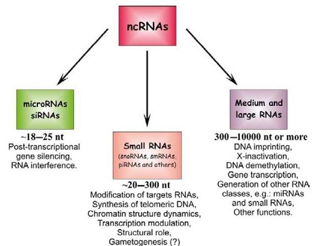 Types of non-coding RNAs (ncRNAs) classified according to their length and functions: very small RNAs - microRNAs and small interfering RNAs (siRNAs); small RNAs; and medium and large RNAs. The corresponding established functions for each type are also indicated. snoRNAs, small nucleolar RNAs; smRNAs, small modulatory RNAs; piRNAs, Piwi-interacting RNAs.