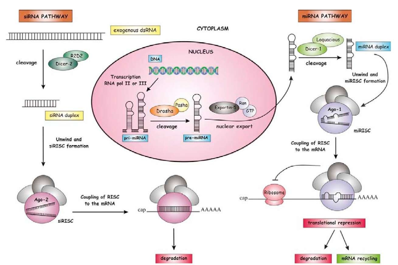 mirna function Micrornas (mirna) are a class of small non-coding rnas that involve in regulation of gene expression lin-4 was the first discovered mirna by ambros and colleagues in.