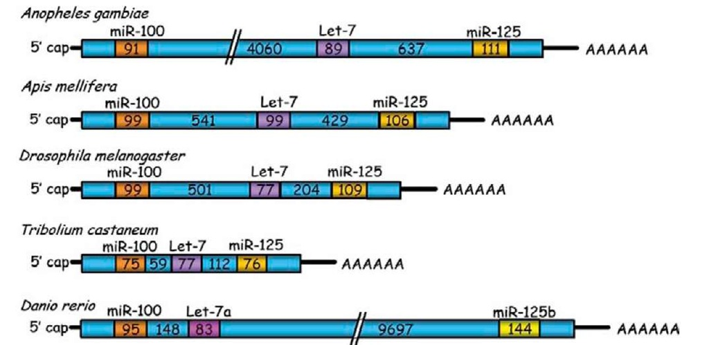 Organization of the primary transcript of miR-100, let-7, and miR-125 cluster in different insect species and the zebrafish. Numbers inside the boxes correspond to the length in base-pairs.