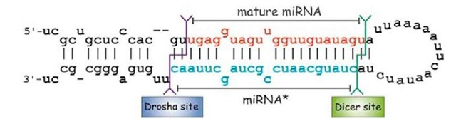 Precursor of miRNA let-7. In one of the arms of the stem-loop of the hairpin the mature miRNA sequence resides (in red); in another is the miRNA* sequence (in blue). The sites of cleavage for both enzymes Drosha and Dicer-1 are shown as purple and green lines, respectively.