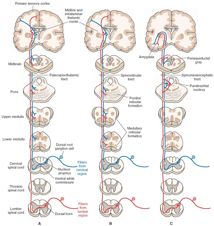 the spinal cord organization of the central nervous