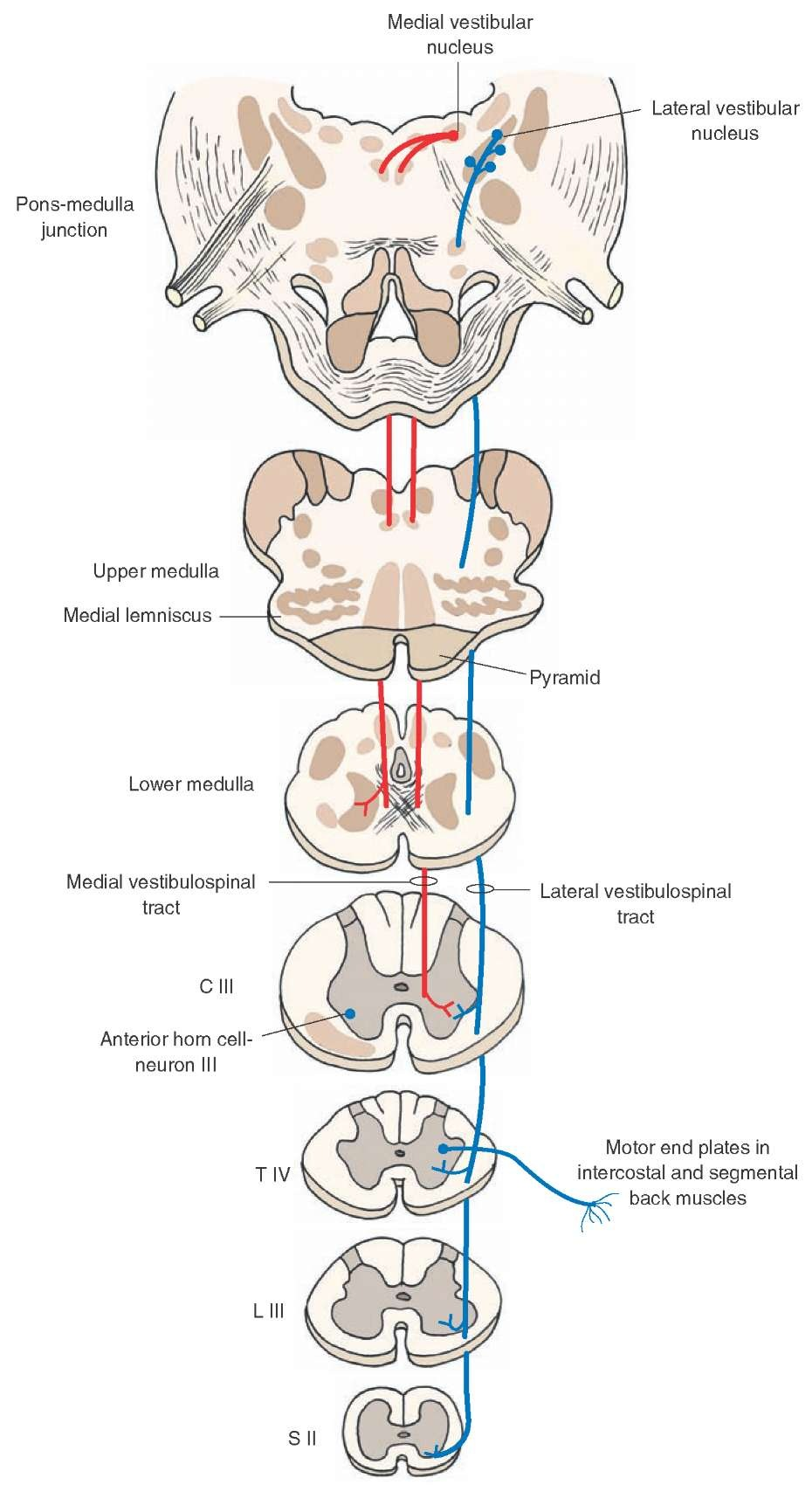 Postural Control besides 49551 moreover Peripheral Nervous System also 4044676 moreover Burkett Miles Clam Dissection. on organs dorsal and ventral