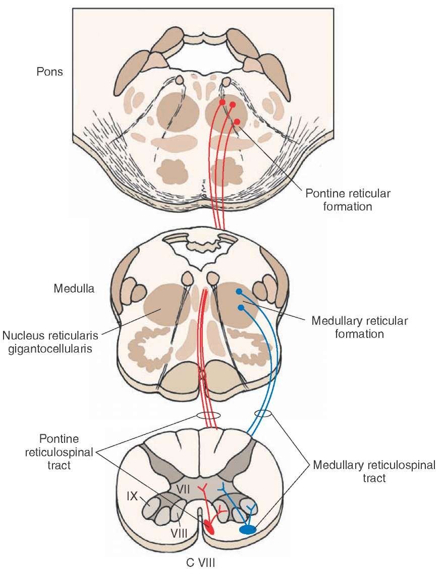 The spinal cord organization of the central nervous system part 5 pooptronica Choice Image
