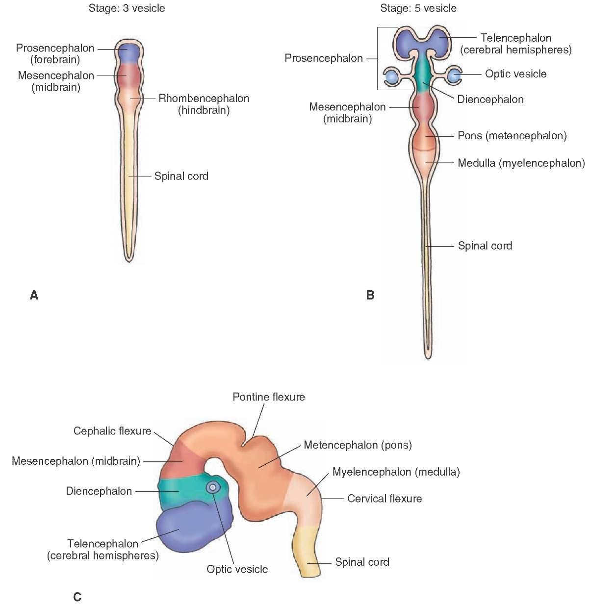 Prosencephalon; Forebrain - 140.4KB