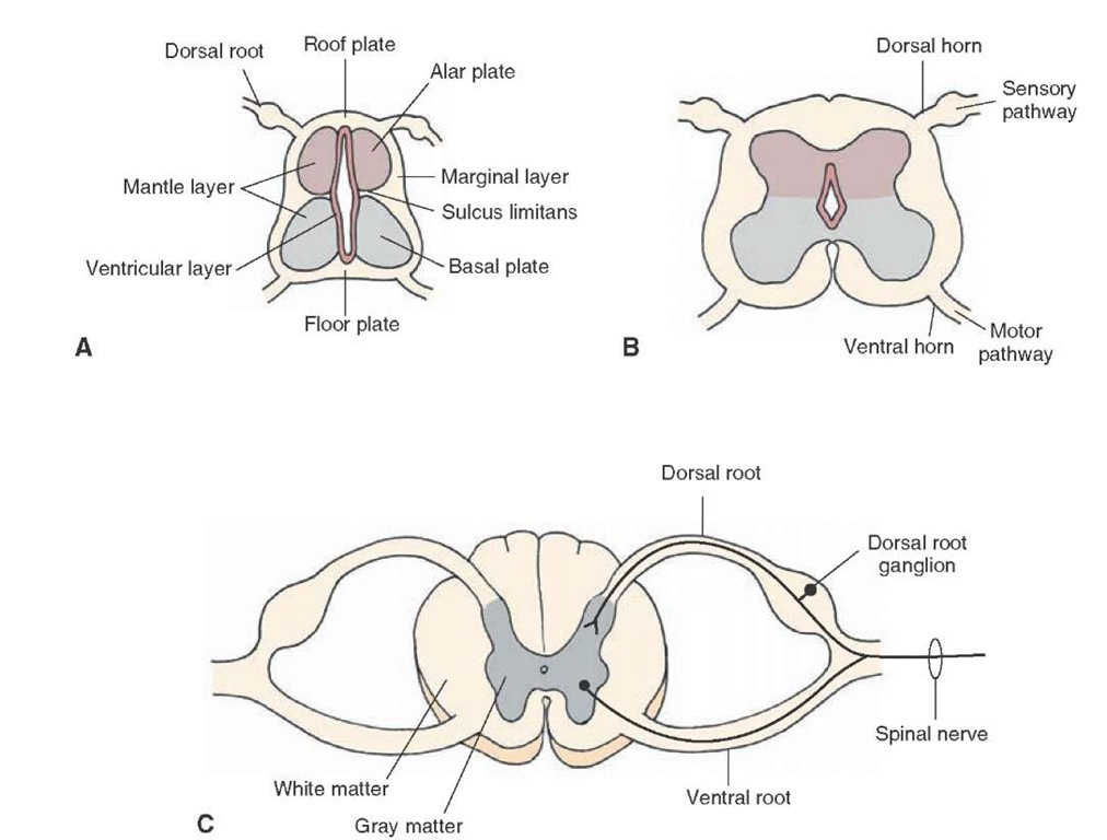 Development of the spinal cord: (A) early stage of development; (B) intermediate stage of development; and (C) late stage of development. Note also the positions of the alar, basal, and roof and floor plates as shown in panel A and the structures derived from them shown in panels B and C.