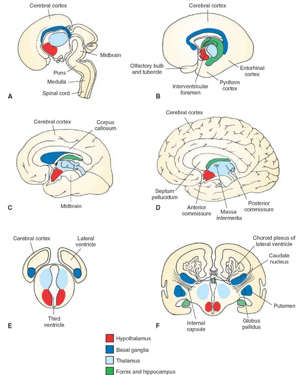 Development of the forebrain. (A-D) Medial views of four different stages of development of the cerebral hemispheres and their fusion with the diencephalon. Note the C-shaped arrangement of the telencephalic structures, including the hippocampus and fornix as well as the basal ganglia complex formed later in development. (E and F) Cross-sectional diagram taken from levels indicated in panels A and D illustrating how the cerebral hemispheres are formed at different stages of development. Note that, as shown in panel F, the choroid plexus develops from the roof of the ventricles.