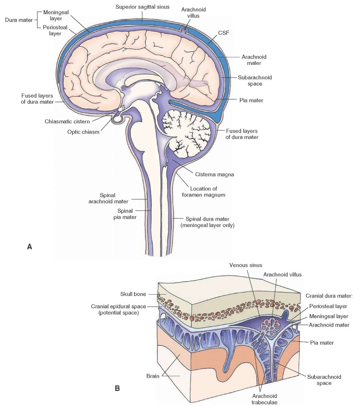 Meninges and Cerebrospinal Fluid (Gross Anatomy of the Brain) Part 1
