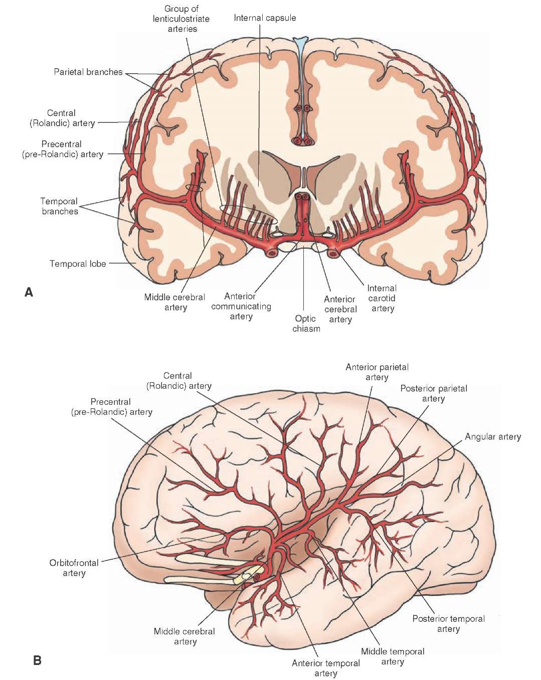 Blood Supply Of The Central Nervous System Gross Anatomy Of The
