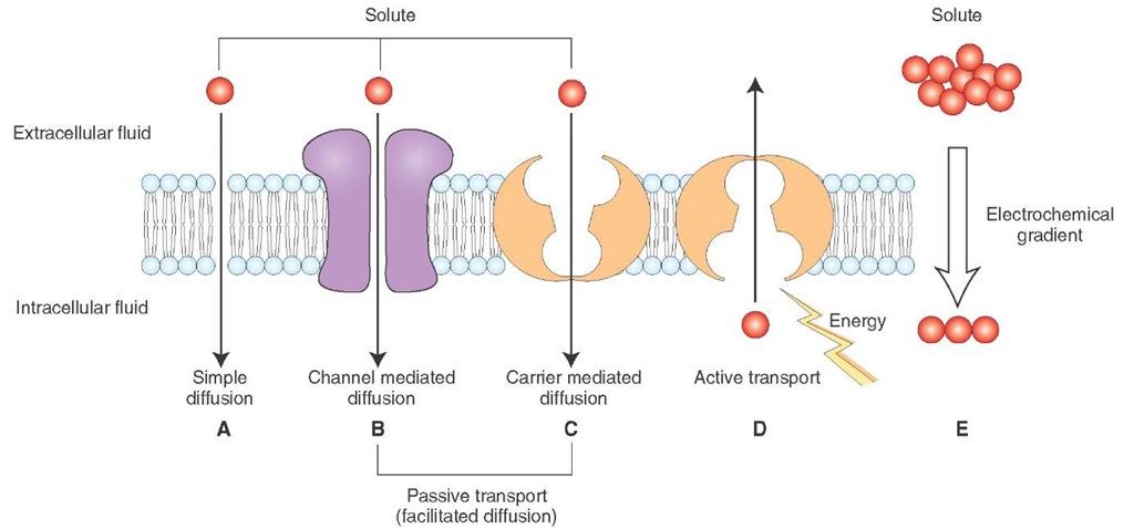 diffusion across biological membranes essay