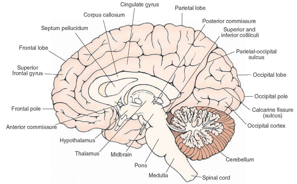 Midsagittal view of the brain. Visible are the structures situated on the medial aspect of the cortex as well as subcortical areas, which include the corpus callosum, septum pellucidum, fornix, diencephalon, and brainstem structures.