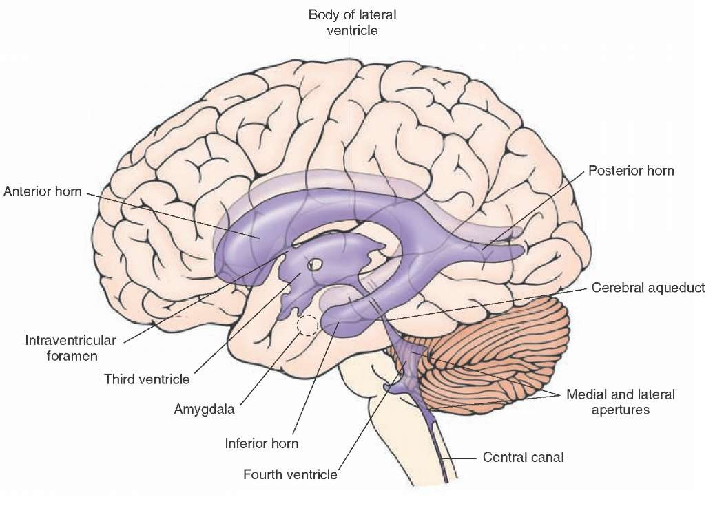 Overview Of The Central Nervous System Gross Anatomy Of The Brain