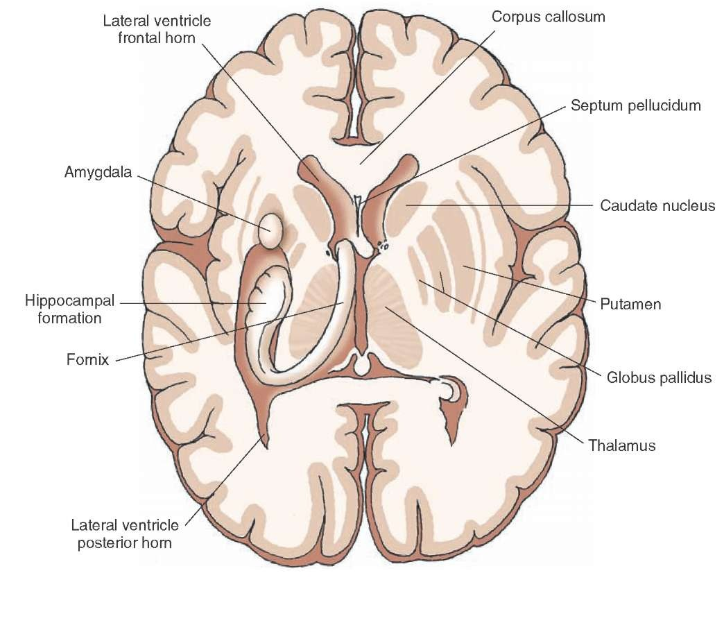 Overview of the central nervous system gross anatomy of the brain horizontal section depicting internal forebrain structures after parts of the cerebral cortex have been dissected away ccuart