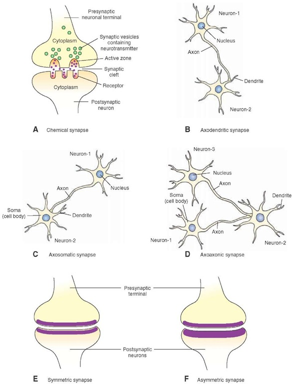 Morphology of a chemical synapse. (A) The presynaptic terminal and postsynaptic neuron are separated by a fluid-filled synaptic cleft. Note that the presynaptic terminal contains synaptic vesicles, which contain neurotransmitter and active zones. Receptors for the transmitter are located on the postsynaptic membrane. Different types of central nervous system synapses include (B) axodendritic synapse, (C) axosomatic synapse, and (D) axoaxonic synapse. (E) In a symmetrical synapse, the presynaptic and postsynaptic membranes are similar in thickness. (F) In an asymmetrical synapse, the postsynaptic membrane of a synapse is thicker than the presynaptic membrane.