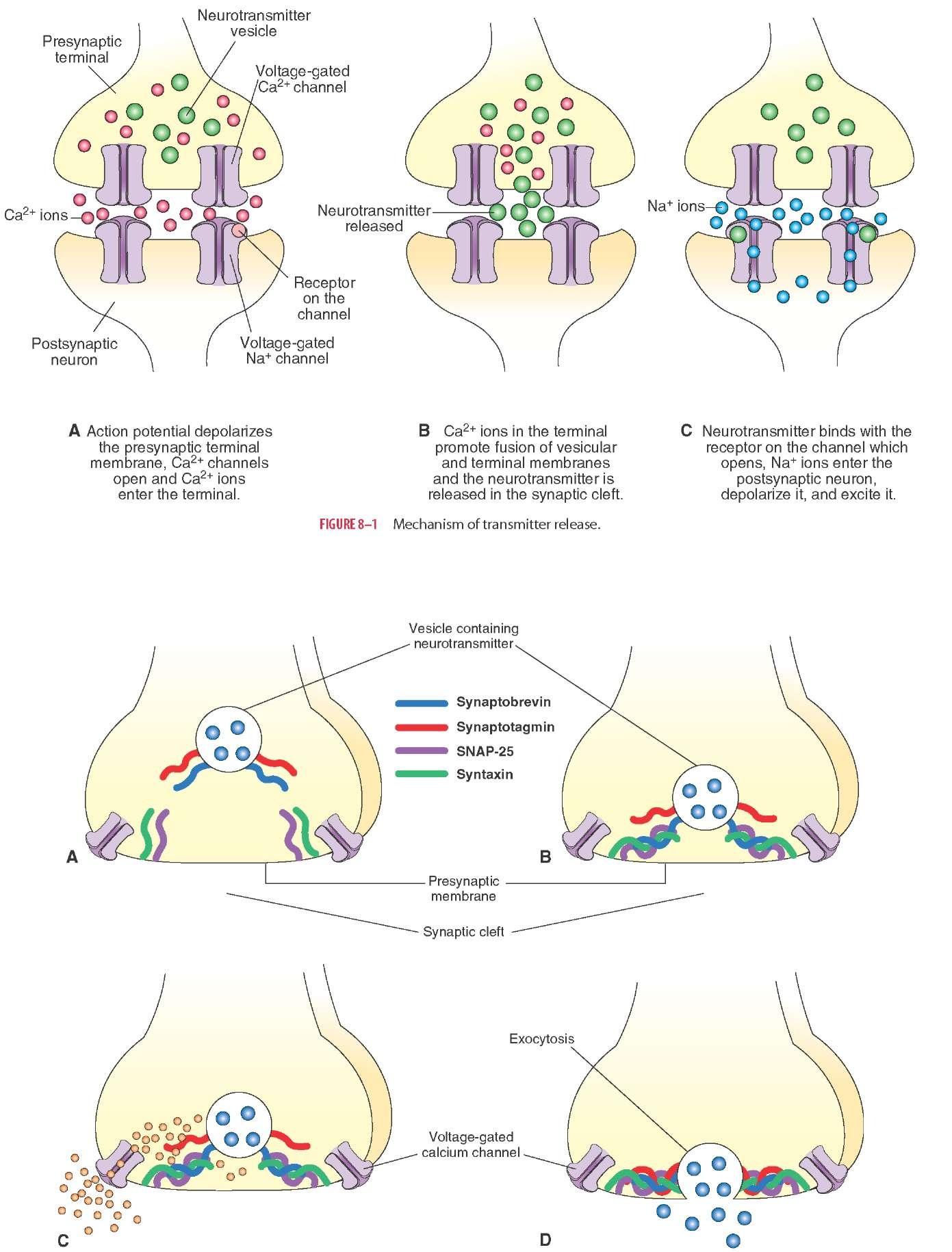 Synaptic Transmission Steps Tmp