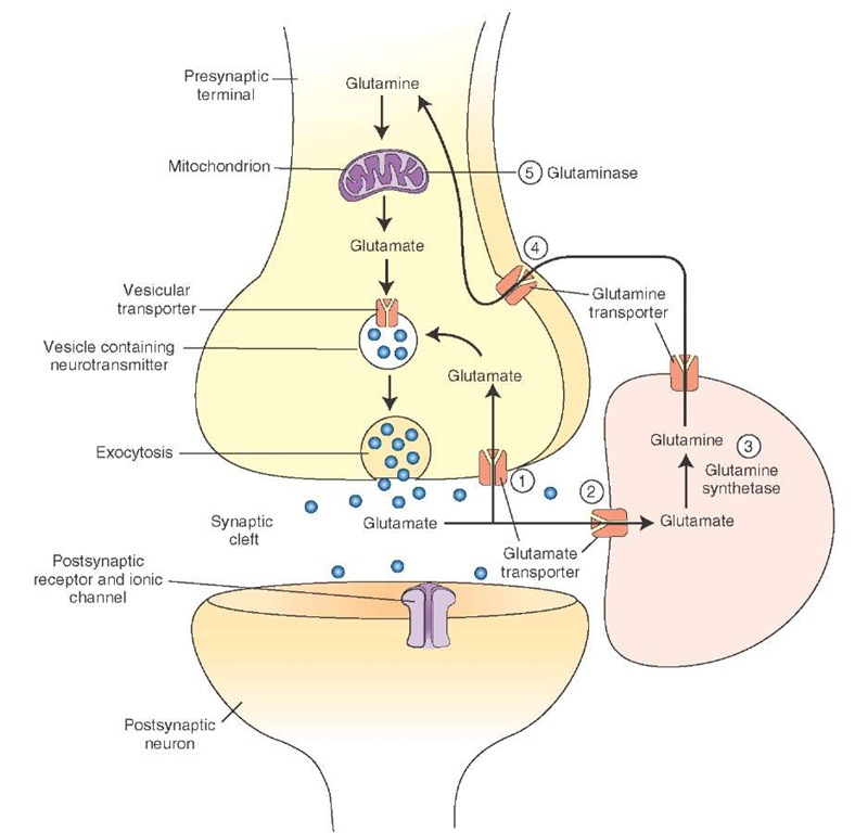 Neurotransmitters (The Neuron) Part 2