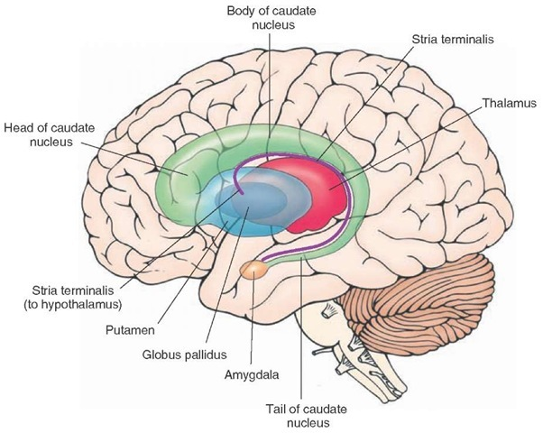 Schematic diagram illustrating the components of the caudate nucleus and their relationship to the thalamus, internal capsule, globus pallidus, putamen, and brain-stem. Because of its anatomical proximity to the caudate nucleus, the stria terminalis, which represents a major efferent pathway of the amygdala to the hypothalamus, is included as well.