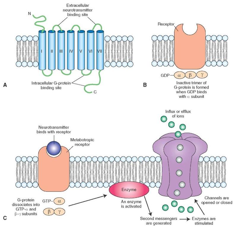Neurotransmitters (The Neuron) Part 6