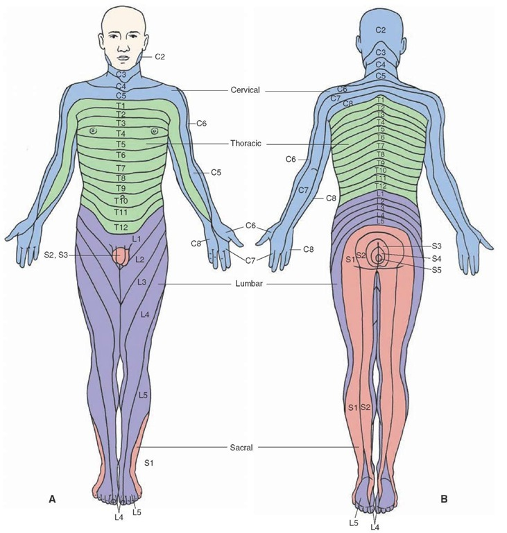 Dermatome Map http://what-when-how.com/neuroscience/the-spinal-cord-organization-of-the-central-nervous-system-part-2/