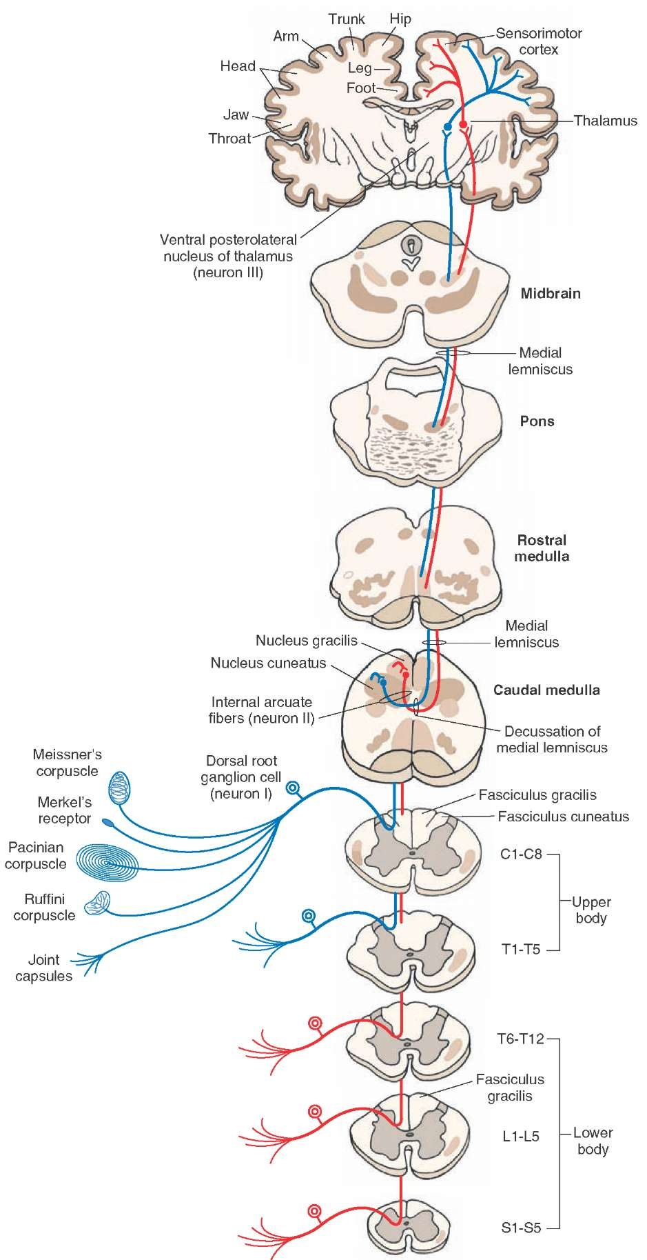diagram showing the course of fibers in the dorsal column  the fasciculus  gracilis exists at