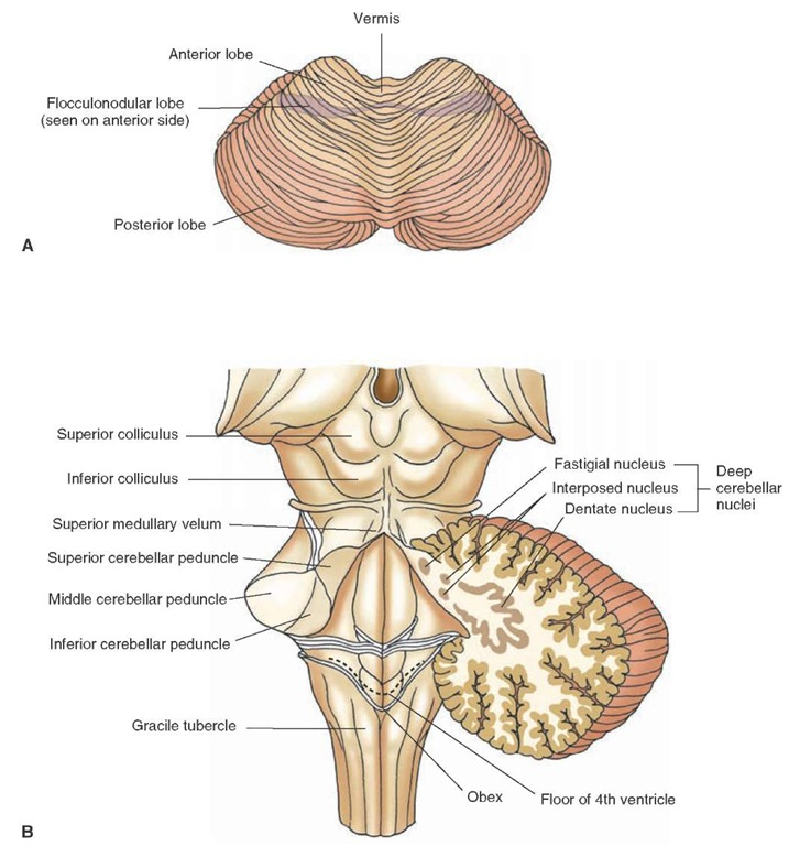 Overview of the Central Nervous System (Gross Anatomy of ... Flocculonodular Lobe Label
