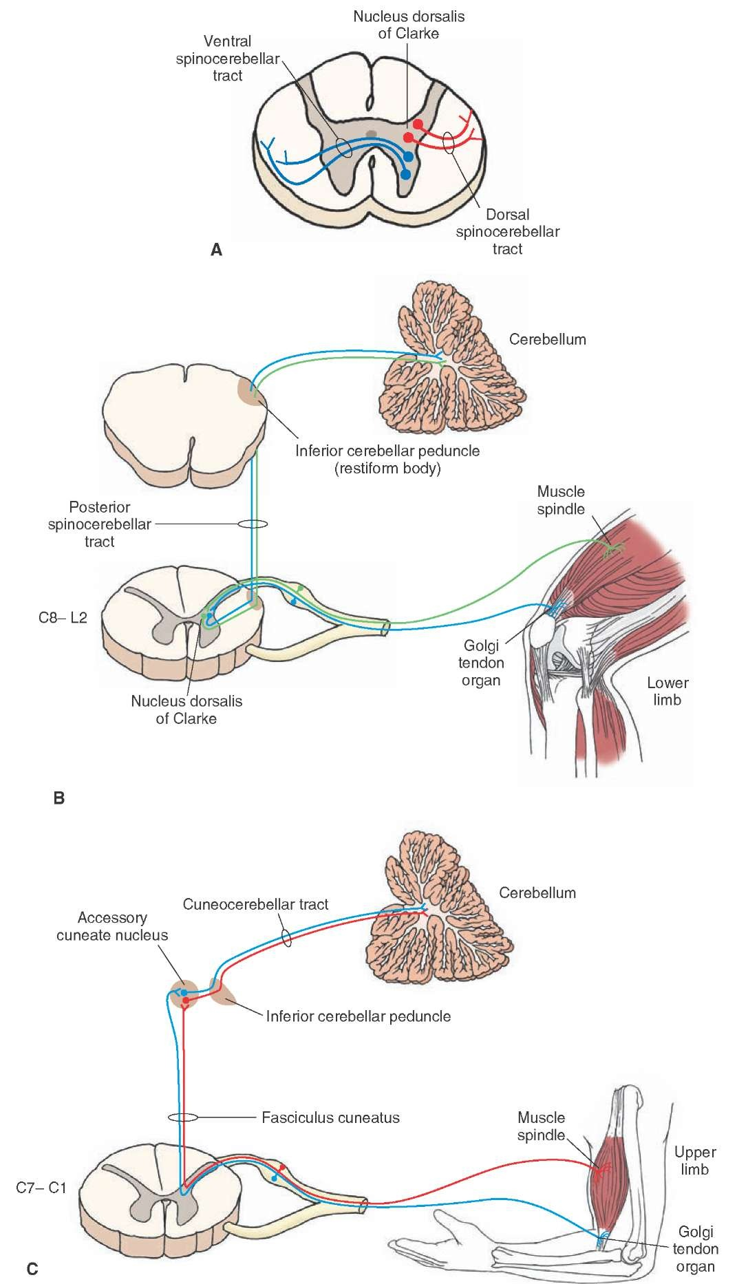 Origin and distribution of spinocerebellar and cuneocerebellar tracts. (A) The origins of the dorsal and ventral spinocerebellar tracts within the spinal cord. (B) Origin, course, and distribution of the posterior spinocerebellar tract and (C) cuneocerebellar tract. C = cervical.