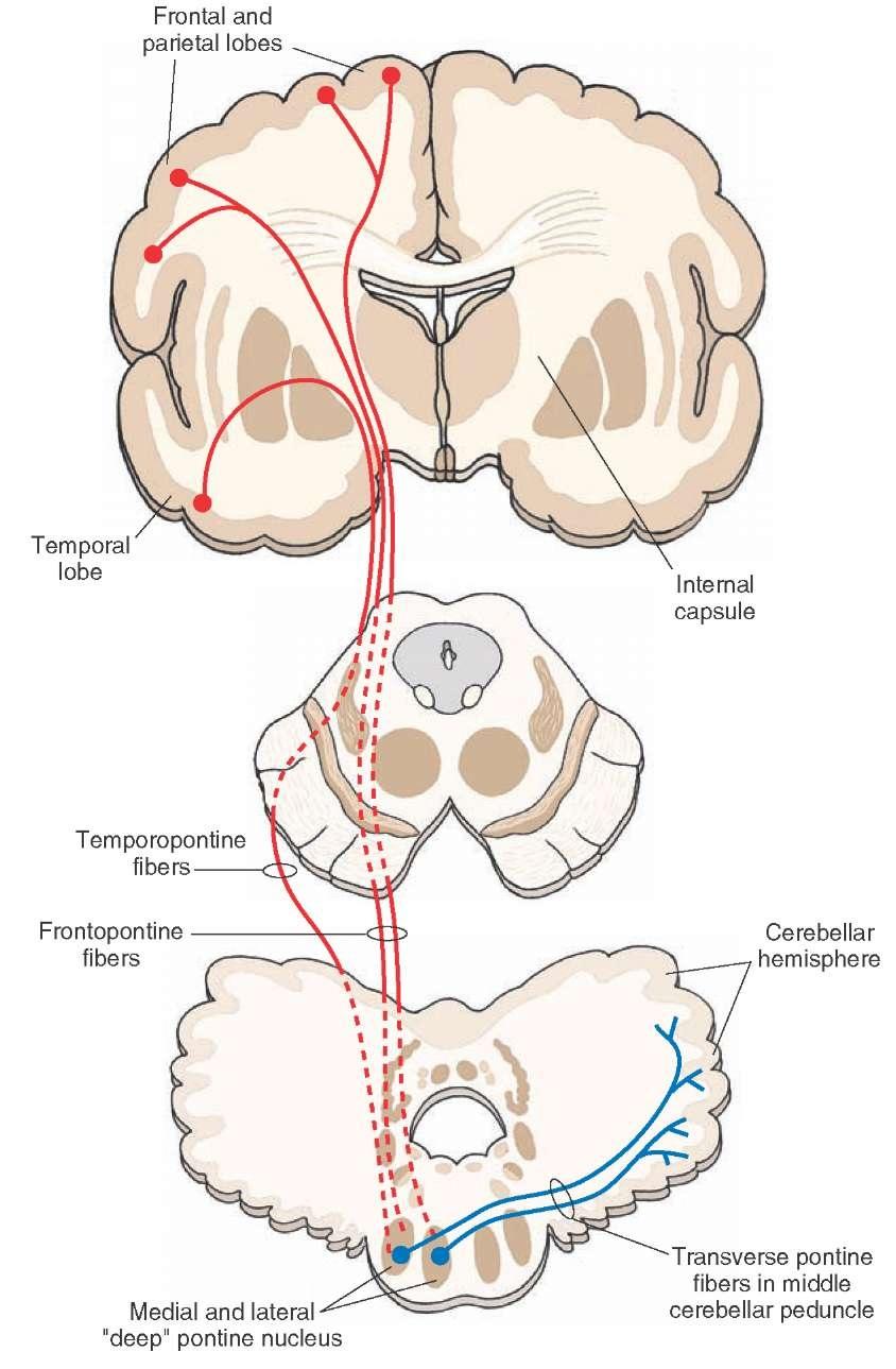 The Cerebellum Motor Systems Part 2