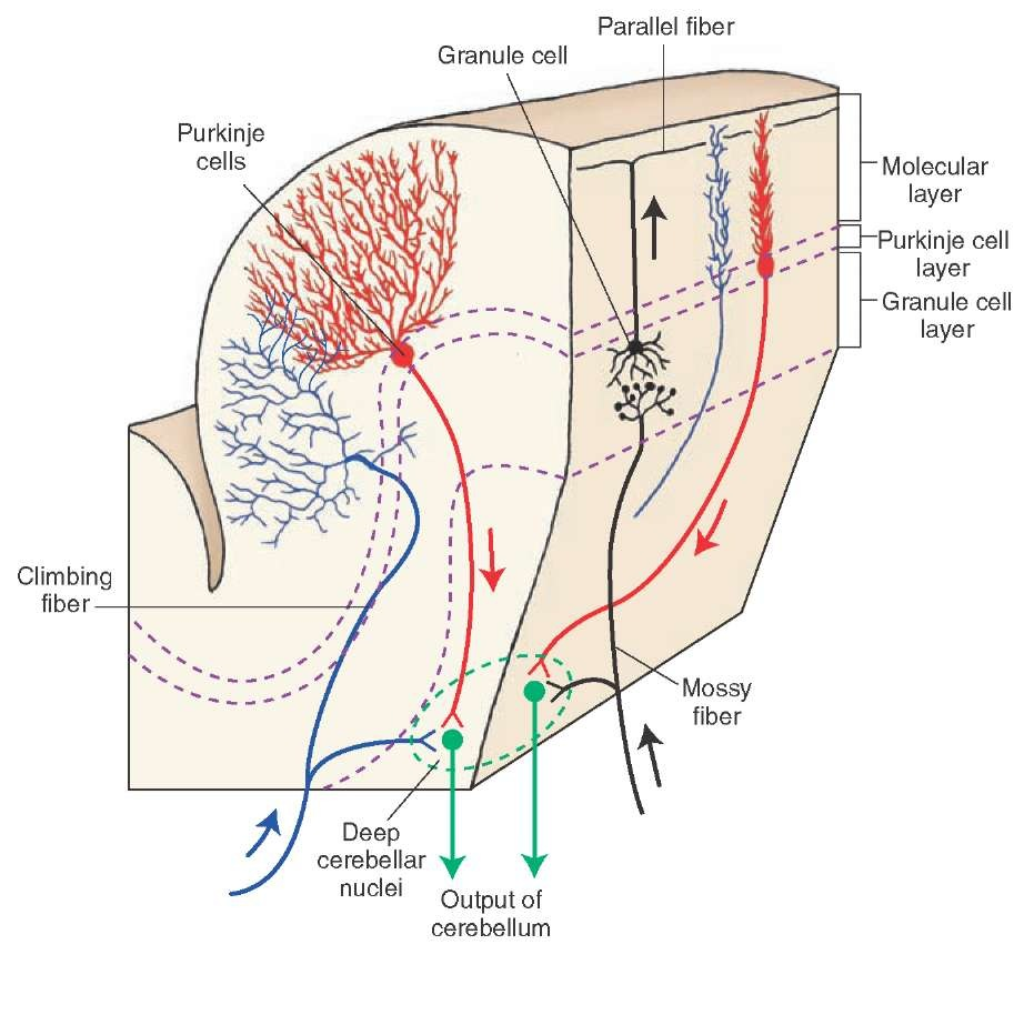 The Cerebellum (Motor Systems) Part 2