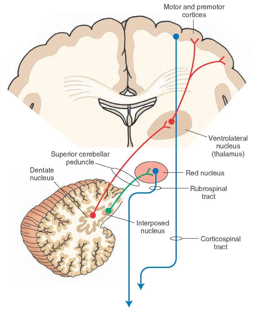 The cerebellum motor systems part 3 diagram depicts the outflow pathways from the cerebellar cortex to the cerebral cortex and red nucleus ccuart Choice Image