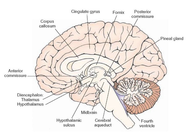 Mid-sagittal section of the brain depicting the medial aspect of the forebrain. Note that the diencephalon is bounded on its rostral end by the anterior commissure and at its caudal end by the posterior commissure. Within the diencephalon, the thalamus is separated from the hypothalamus by the hypothalamic sulcus.