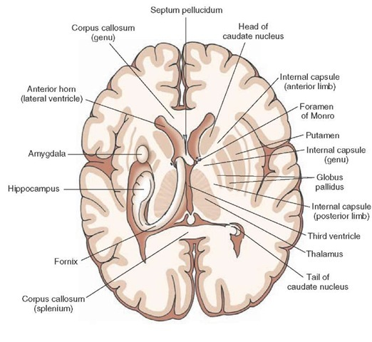 Horizontal section of the brain depicting:(1) on one side, the relationships of the internal capsule to the lateral ventricles, thalamus, and basal ganglia; and  (2) on the other side, the positions occupied by the hip-pocampal formation, fornix, and amygdala