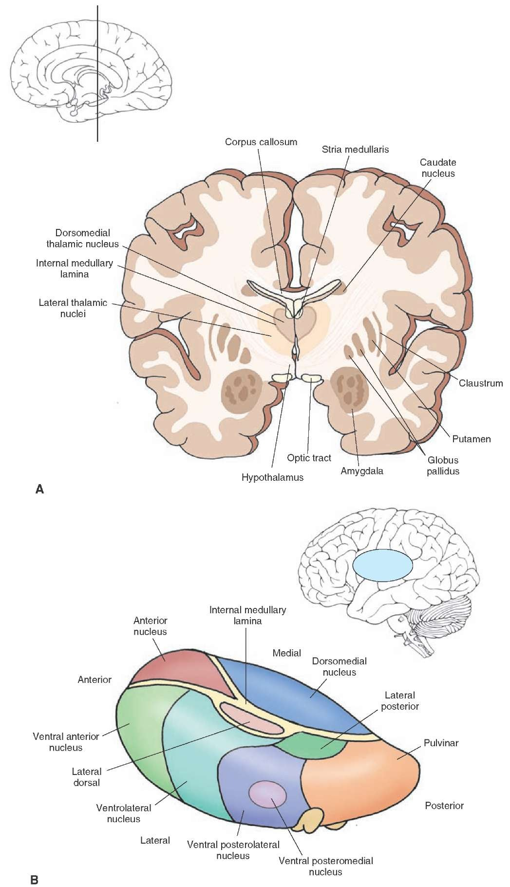 Arrangement of thalamic nuclei. (A) Cross section of the brain taken through the level of the anterior third of the diencephalon. The cross section indicates the relationship of the diencephalon to the internal capsule and basal ganglia as well as the position occupied by the amygdala in the temporal lobe. The inset indicates the approximate cut of the section. (B) The relative positions of the thalamic nuclei to one another and the position of the thalamus within the brain.