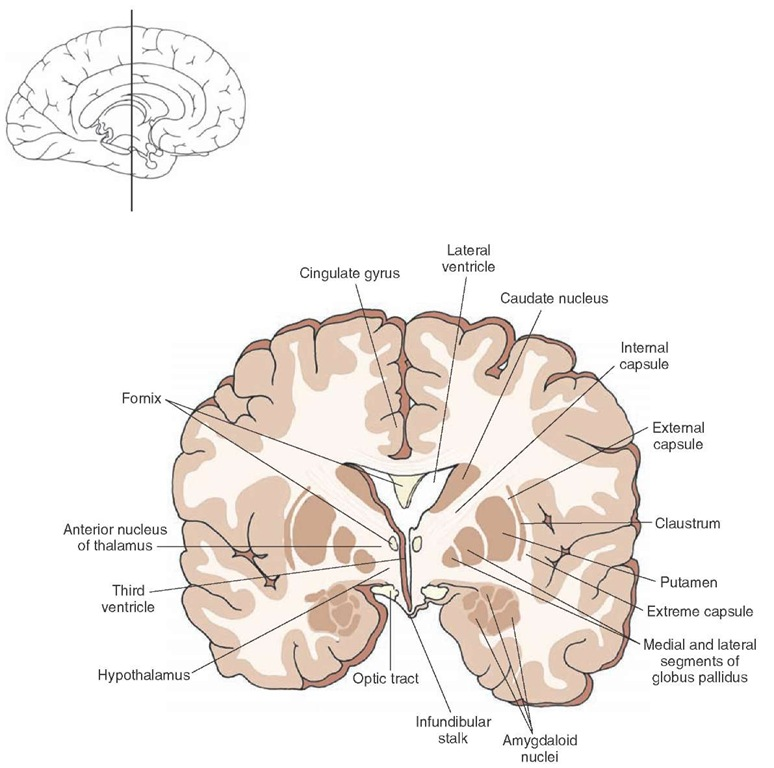 Cross section of the brain depicting the position occupied by the anterior thalamic nucleus in the anterior aspect of the thalamus. The inset indicates the approximate cut of the section.
