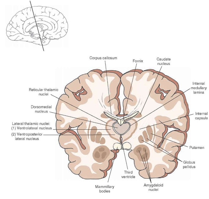 Cross section of the brain depicting the position occupied by the dorsomedial thalamic nucleus situated in the middle third of the thalamus. Note that the medial and lateral nuclei of thalamus are separated by an internal medullary lamina. The inset indicates the approximate cut of the section.