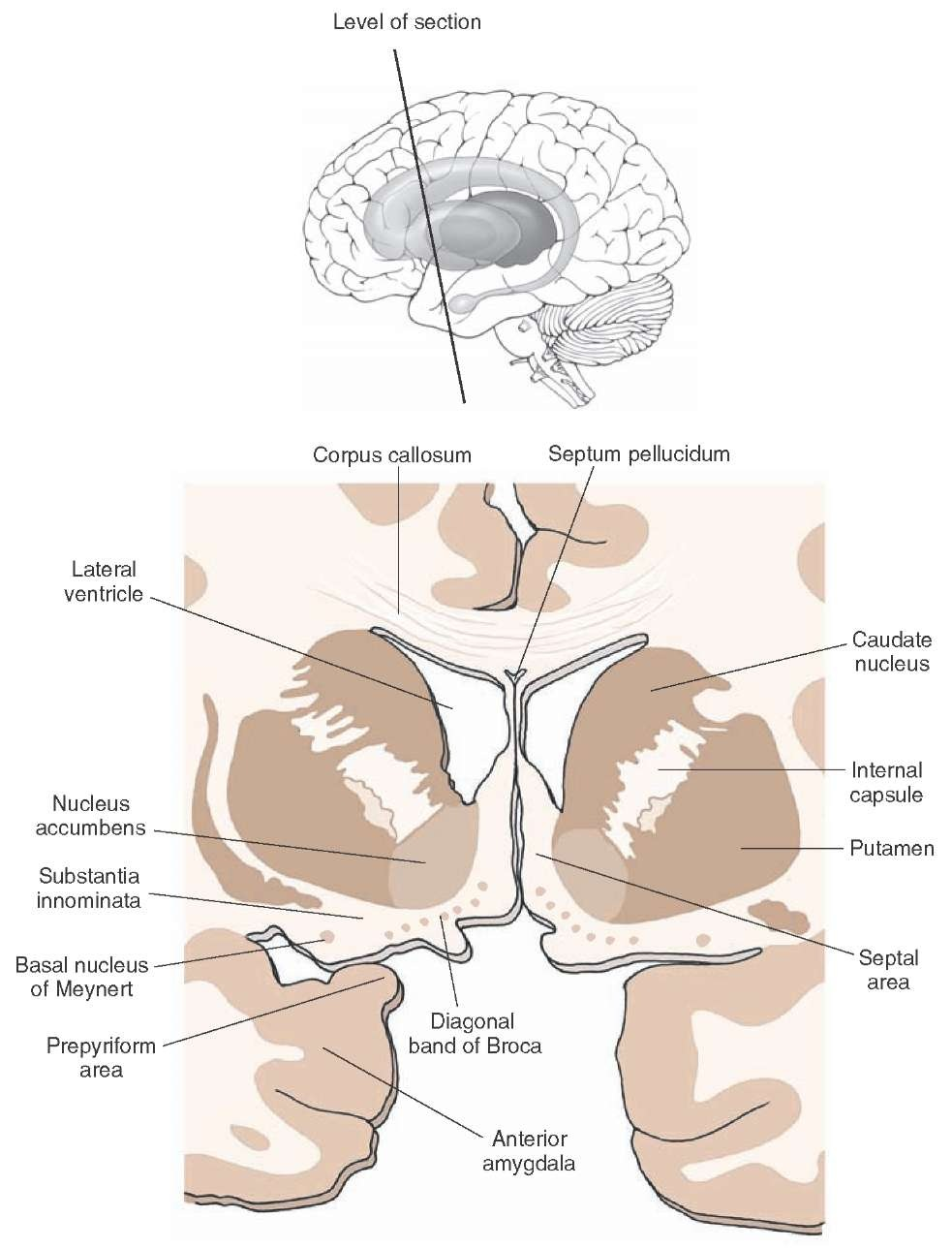 The Forebrain (Organization of the Central Nervous System) Part 3