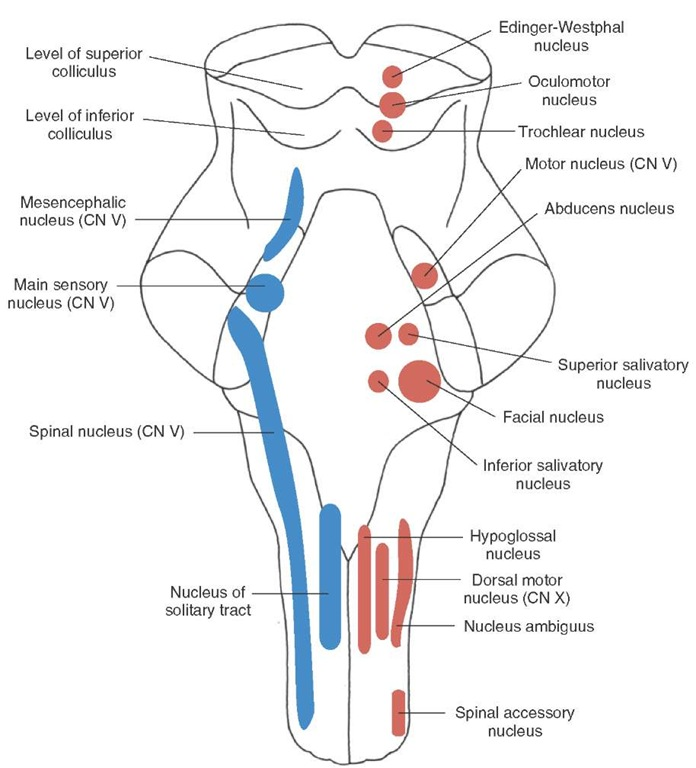Longitudinal view of the brainstem depicting the position and arrangement of the sensory, motor, and autonomic cell groups that comprise first-order and second-order neurons associated with cranial nerves. Motor nuclei of cranial nerves (CN) III, IV, VI, and XII are classified as general somatic efferent (GSE) and are located near the midline. Motor nuclei of CN V, VII, IX, X (nucleus ambiguus for nerves IX and X), and XI are classified as SVE and are located slightly lateral to GSE neurons. Autonomic nuclei (general visceral efferent) are derived from CN III (Edinger-Westphal nucleus), VII (superior sali-vatory nucleus), IX (inferior salivatory nucleus), and X (dorsal motor nucleus) and are situated slightly more laterally. Sensory neurons lie lateral to motor neurons. General visceral afferent (GVA) neurons include CN IX and X. CN I (not shown in figure), VII, IX, and X include special visceral afferent (SVA) components (involving the nucleus of the solitary tract [solitary nucleus] for each of these nerves except for CN I). General somatic afferent (GSA) and special somatic afferent (SSA) components lie lateral to GVA and SVA components. GSA components are found among CN V (main sensory nucleus of CN V), IX, and X (spinal nucleus of CN V receives inputs from CN IX and X). Cranial nerves that are classified as SSA include CN II (optic) and VIII (auditory-vestibular), which are not shown in this illustration.