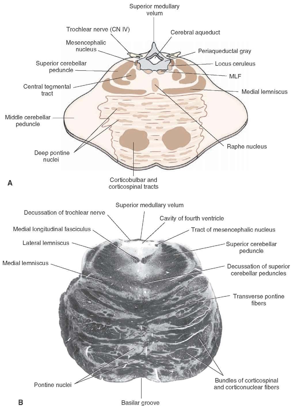 Brainstem Ii Pons And Cerebellum Part 2
