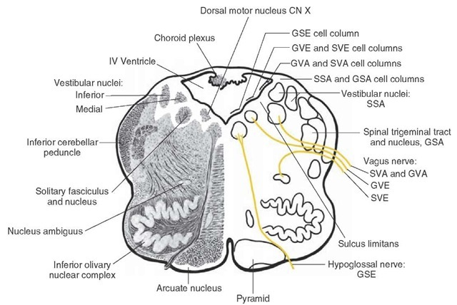 Frontal section taken through the middle of the medulla depicting the loci of the different cell columns that comprise the various components of the cranial nerves. Although this illustration is taken through the medulla, this arrangement applies for other parts of the brainstem as well. Note that the motor nuclei of cranial nerves are located medial to those of sensory nuclei. The GSE (general somatic efferent) motor column is located in the most medial position; next to the GSE column lies the special visceral efferent (SVE) and general visceral efferent (GVE) columns. On the lateral side of the sulcus limitans lie the sensory columns, the most medial of which give rise to general visceral afferent (GVA) and special visceral afferent (SVA) neurons. In the far lateral column lie the special somatic afferent (SSA) and general somatic afferent (GSA) columns. Nuc. = nucleus; n. = nerve.