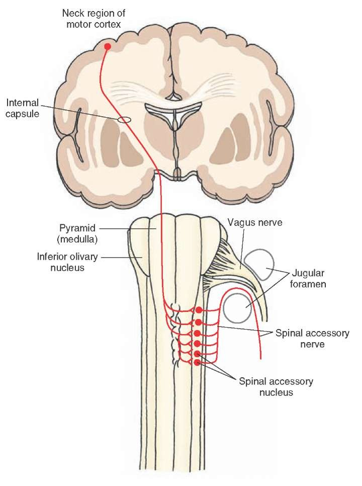The Cranial Nerves Organization Of The Central Nervous System Part 2