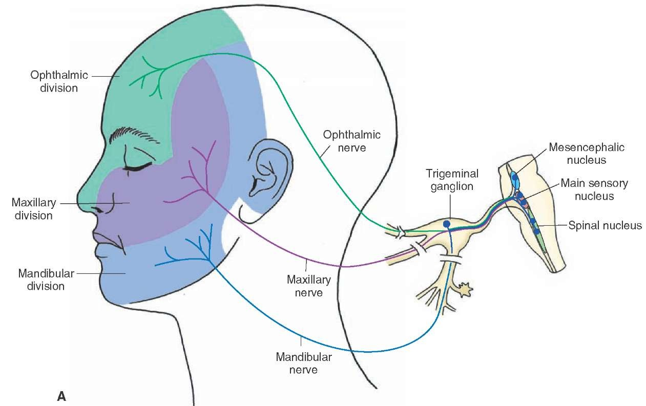 The cranial nerves organization of the central nervous for General motors parts division