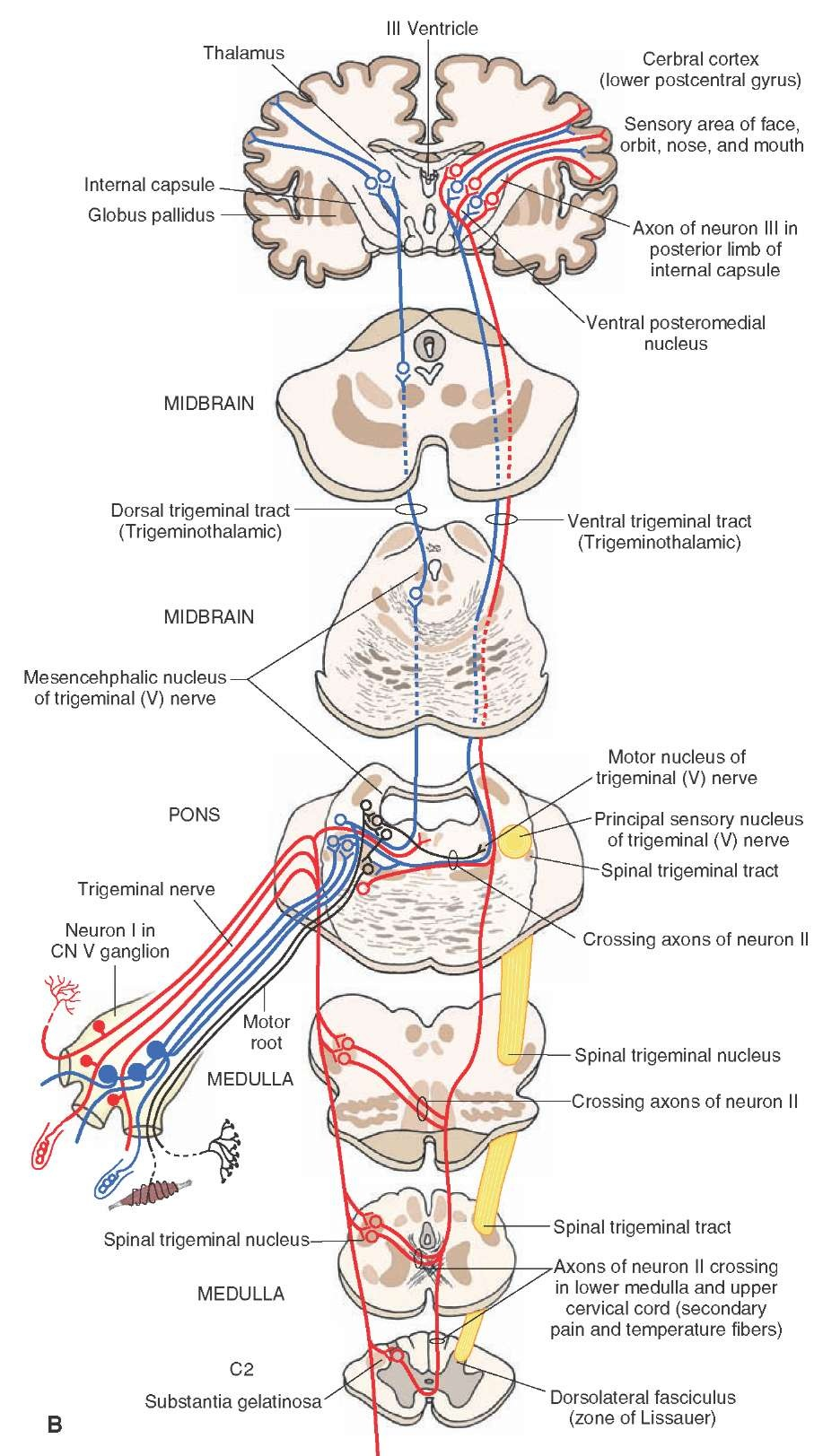 (B) Organization and distribution of the central trigeminal pathways from the periphery to the cerebral cortex. Fibers conveying pain and thermal sensations are indicated in red; fibers conveying tactile and pressure sensations are indicated in blue; the motor root is indicated in black on the left side of figure, and the ascending lateral spinothalamic tract is shown in black on the right side of figure.