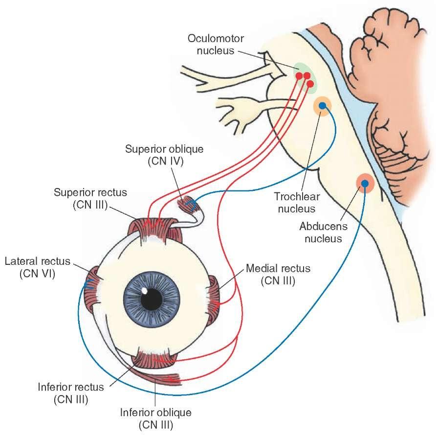 Extraocular Muscles Test Extraocular Eye Muscles