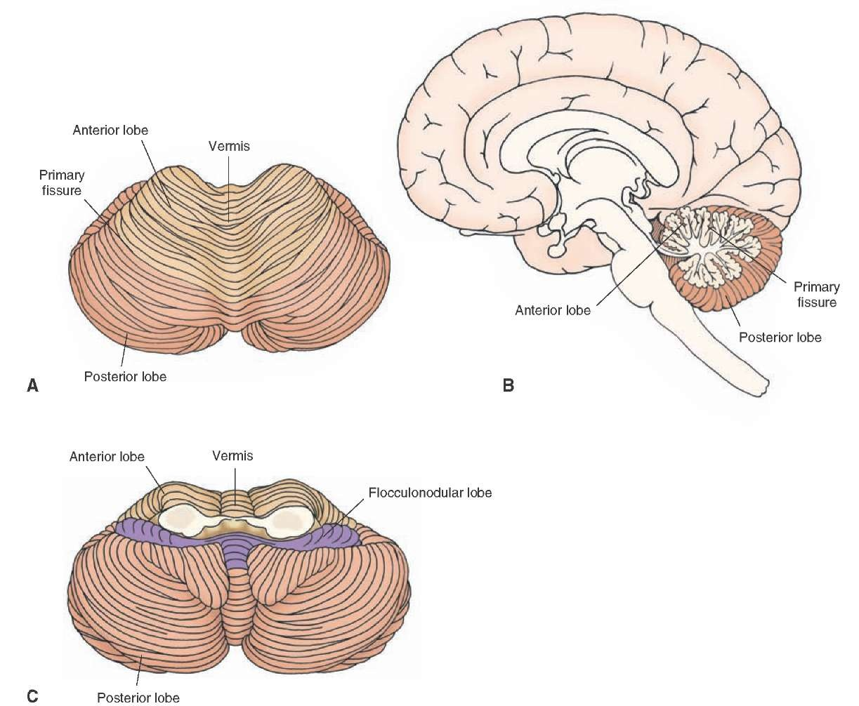 Brainstem II: Pons and Cerebellum Part 2