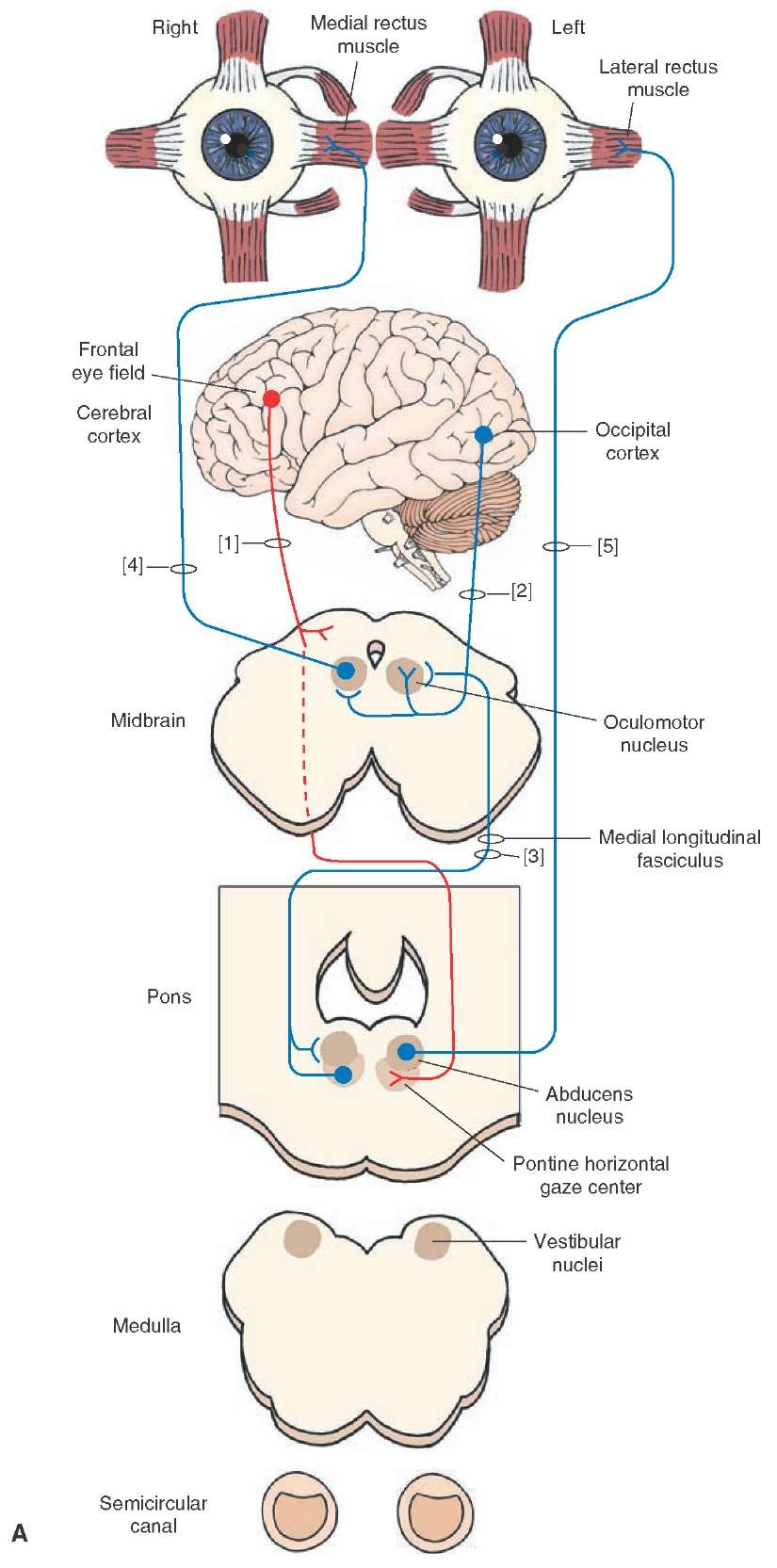 Diagram illustrating the anatomical substrates underlying conscious and unconscious regulation of conjugate gaze and the vestibular-ocular reflex. (A) Several of the key relationships revealing the connections between the cerebral cortex and the pontine gaze center as well as the linkage between cranial nerves (CN) VI and III are shown. Concerning conscious regulation of conjugate gaze, this process originates from the frontal lobe, where axons project to the contralateral horizontal gaze center (1). In this manner, activation of the left frontal eye field will result in movement of the eyes to the right because of excitation of the right abducens and left oculomotor nucleus. Involuntary regulation of conjugate gaze begins in part in the occipital cortex and projects bilaterally to CN III (2). The pontine gaze center projects ipsilaterally to CN VI and contralat-erally to CN III (3). The connections of CN III (4) to the medial rectus muscle and CN VI to the lateral rectus muscle (5) are also indicated.